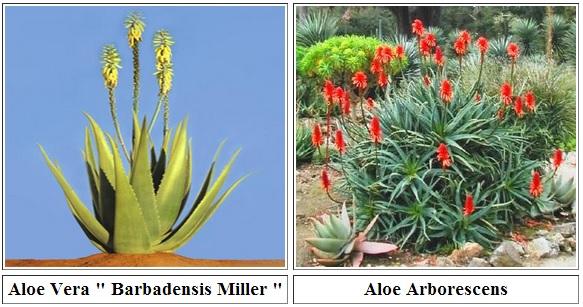 Aloe Barbadensis e Arborescens